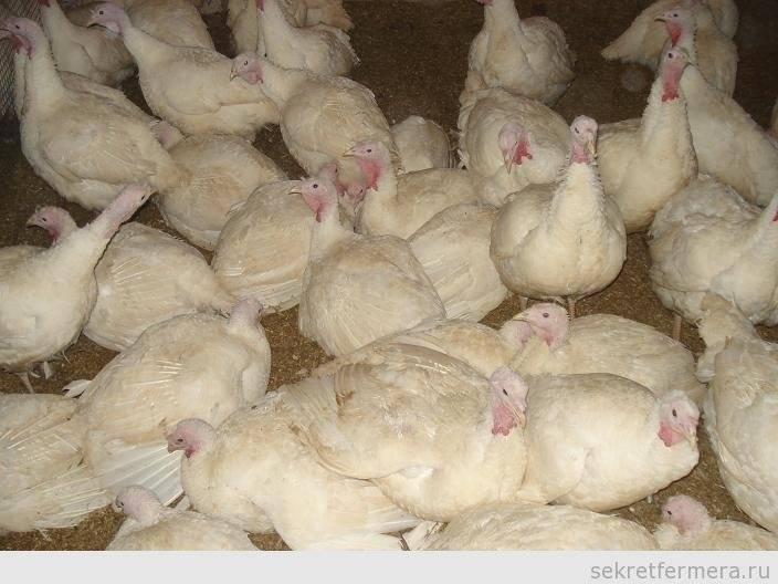 Выращивание индюков — советы начинающим птицеводам и секреты выращивания индюшек (110 фото)