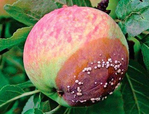 Плодовая гниль яблони  – как спасти дерево?