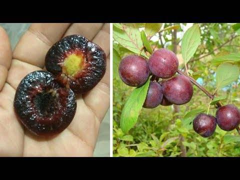 Сливово-вишневые гибриды (свг) – описание, сорта, агротехника выращивания