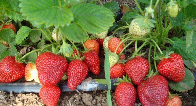 Правильное выращивание клубники сорта клери: технология и уход