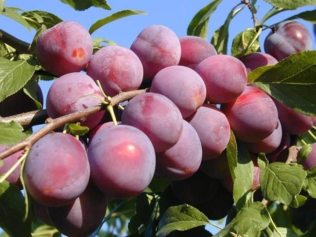 Причины отсутствия плодов у сливы