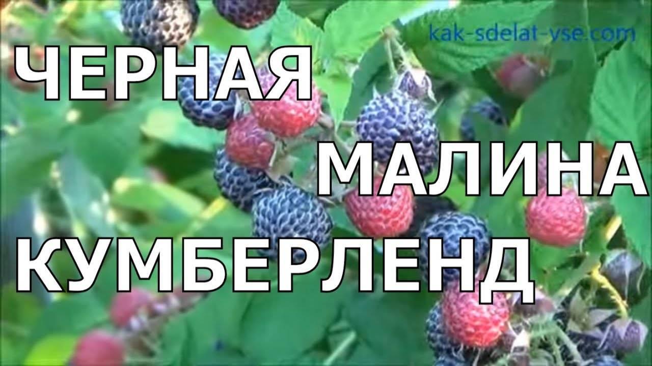 Малина, ежевика