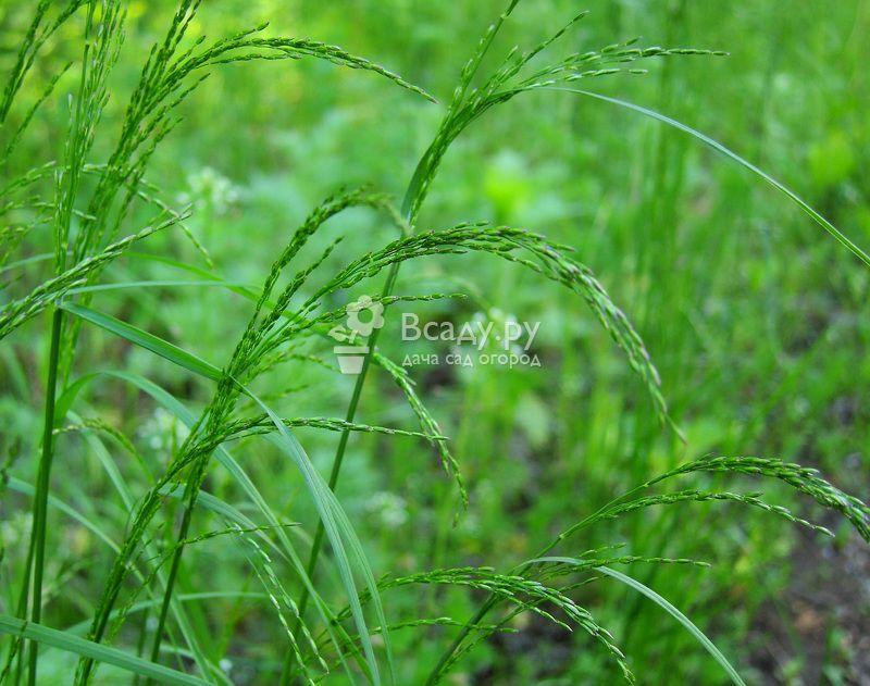 Все о мятлике луговом: как выглядит, что за растение, полезные свойства