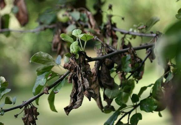 Скручиваются листья у груши: причины, что делать и как лечить, чем обработать