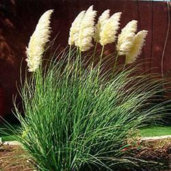 Пампасная трава или кортадерия: описание, посадка и уход в открытом грунте