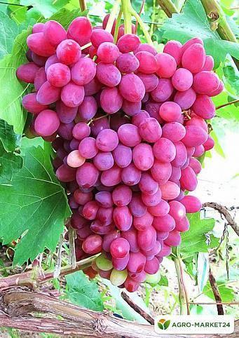 Фиолетовый ранний: старый проверенный сорт винограда для вина и для еды