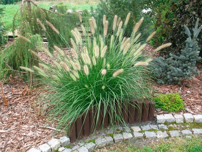 Пампасная трава: посадка, уход, размножение и особенности