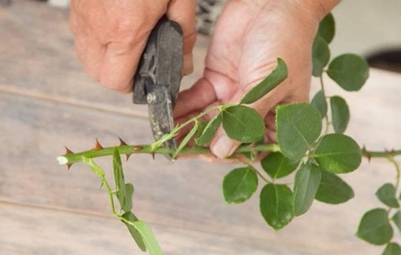 Размножение роз черенками в домашних условиях: инструкция + видео