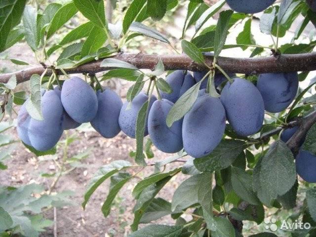 Слива стенли: описание сорта, руководство по выращиванию