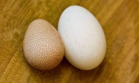 Цесарки: породы птиц, их содержание и разведение