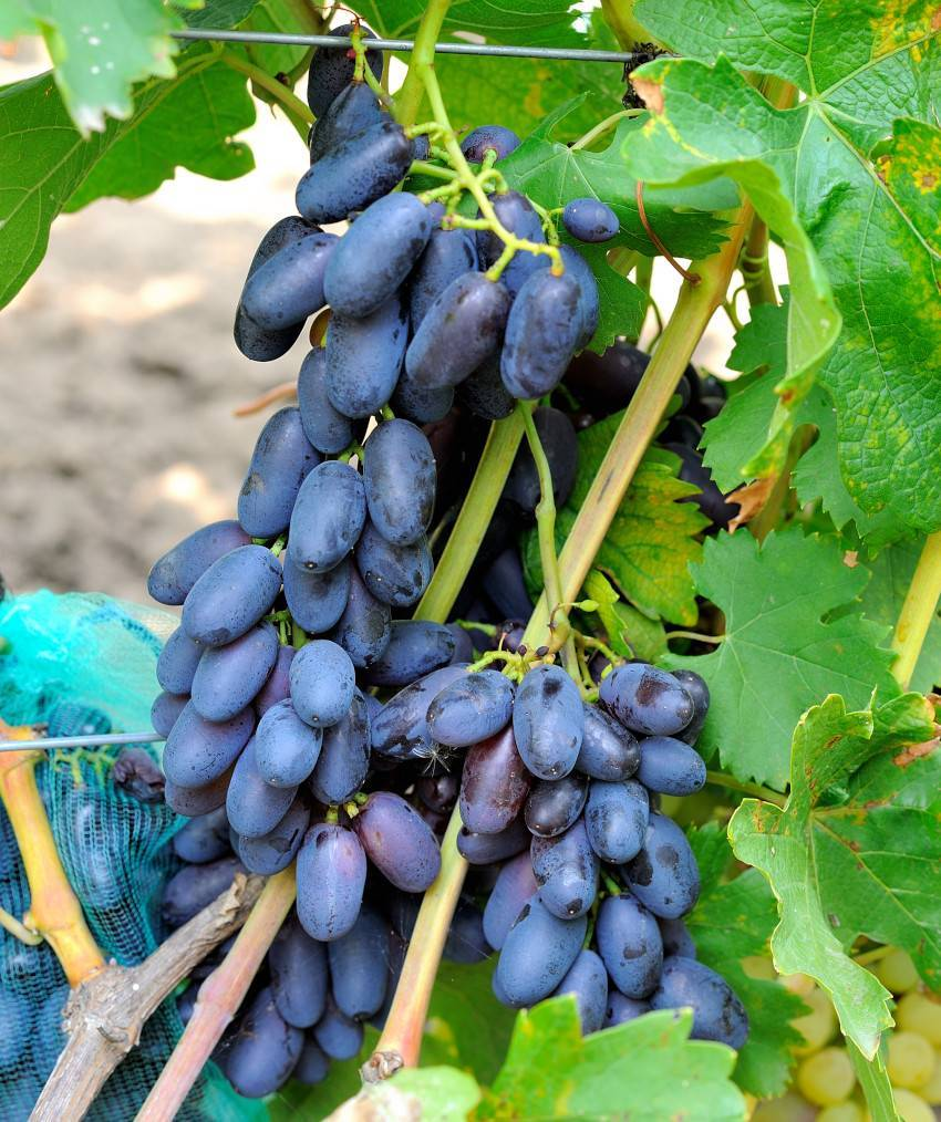 Виноград академик: характеристики сорта и 5 этапов выращивания