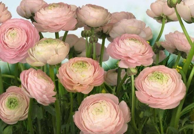 О цветах, похожих на пионы: описание и характеристики пионовидных роз