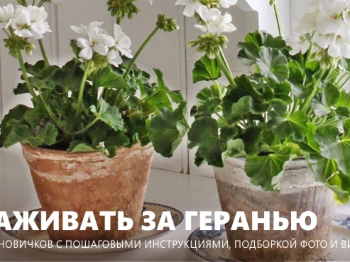 Королева комнатных растений бегония — уход в домашних условиях