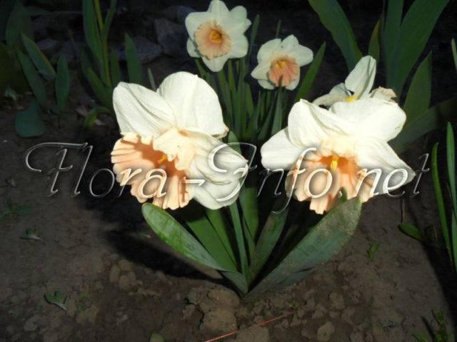 Как ухаживать за нарциссами в открытом грунте после цветения (что делать дальше)