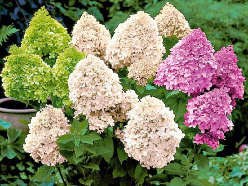 Размножение гортензий черенками весной садовых и комнатных