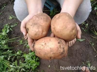 Как правильно выращивать картофель: инструкции, варианты посадки и их результативность
