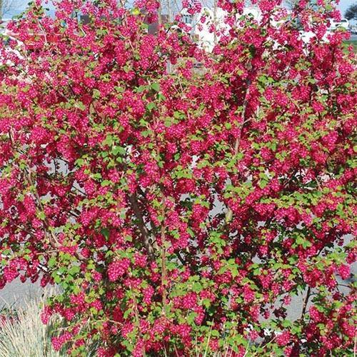 Посадка красной смородины: описание и характеристики вида, уход и выращивание
