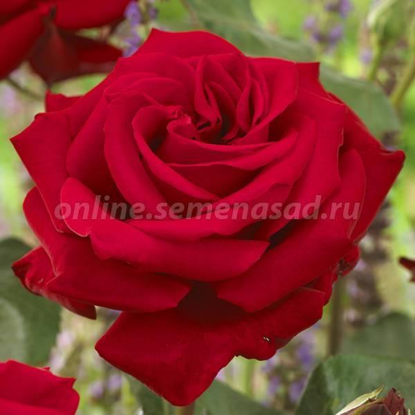 Rosa 'ingrid bergman' — википедия переиздание // wiki 2