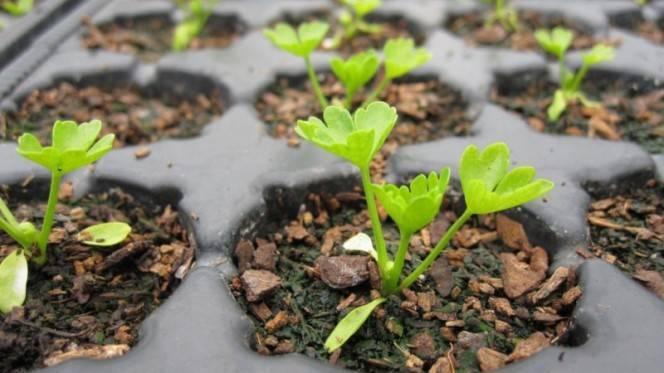 Сельдерей корневой: когда сажать, как правильно посеять и ухаживать за рассадой
