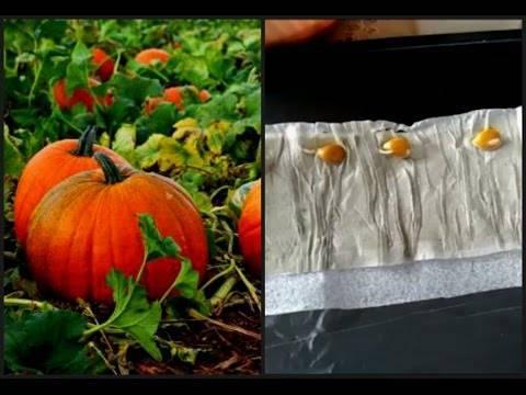 Как прорастить семена арбуза