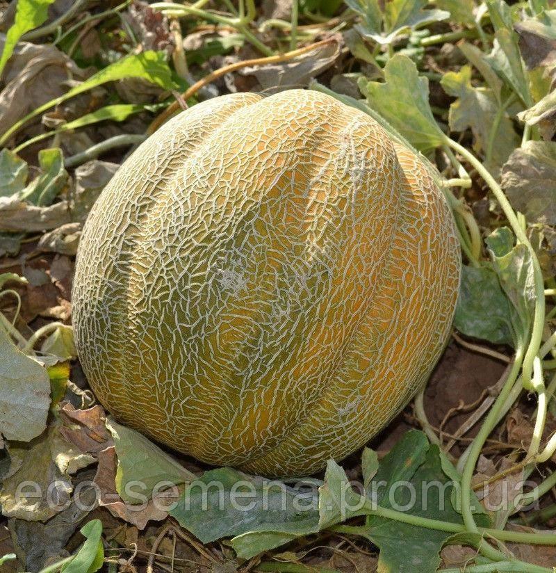 Дыня эфиопка – урожайность сорта, как выбрать и выращивать на участке?