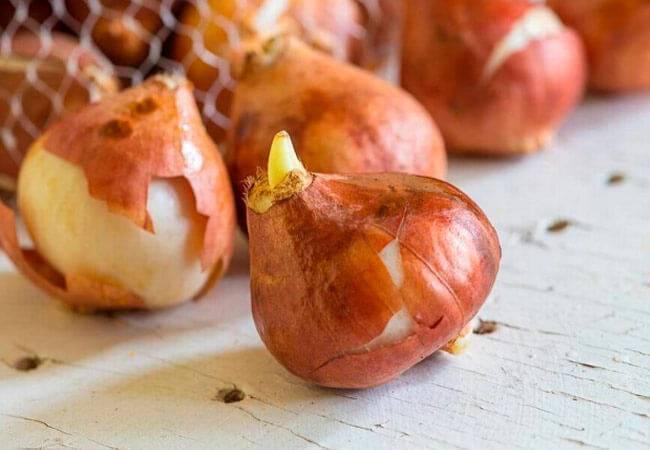Как хранить луковицы тюльпанов?