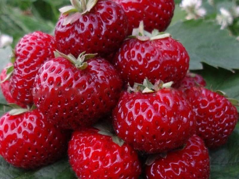 Какие сорта садовой земляники самые сладкие и вкусные