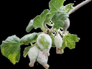 Мучнистая роса на смородине. средство от мучнистой росы
