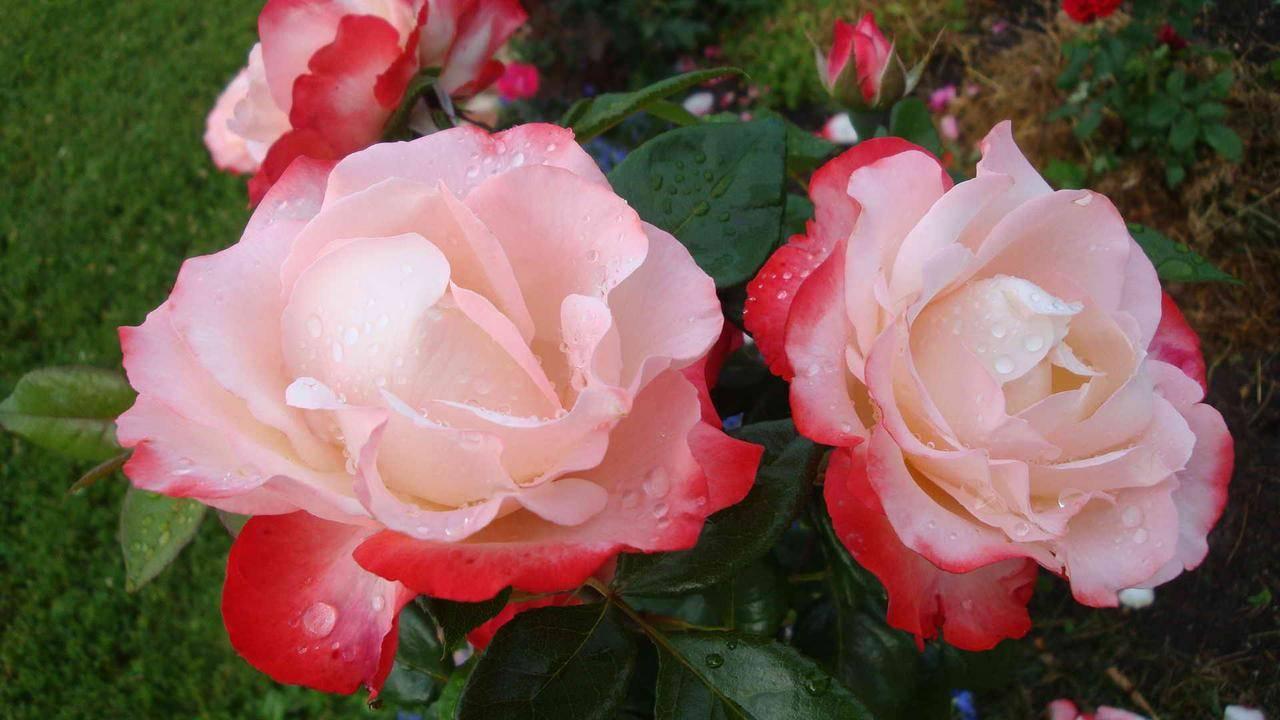 Чайно-гибридная роза ностальжи: уход, посадка и советы по лечению
