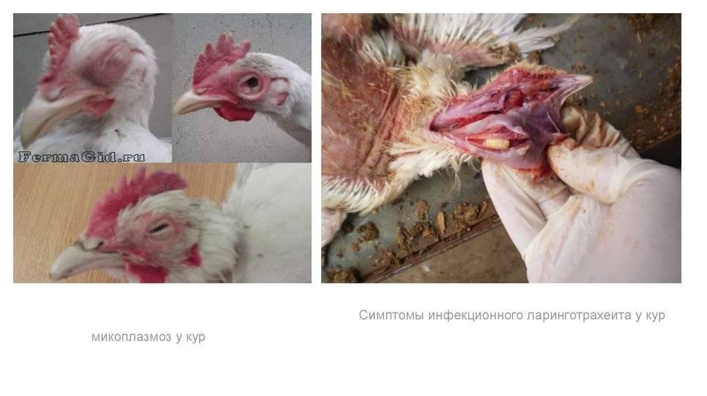 Бройлеры чихают и хрипят — чем лечить цыплят и взрослых кур