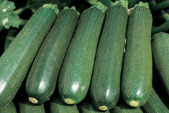 Кабачки: выращивание, посадка и уход в открытом грунте
