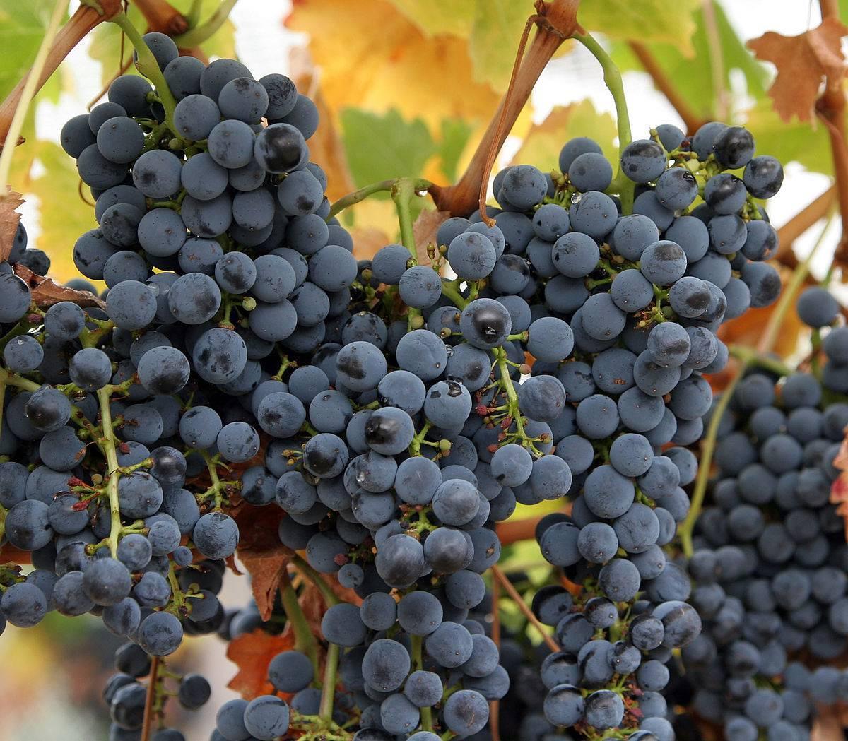 Лучшие сорта винограда для коньяка