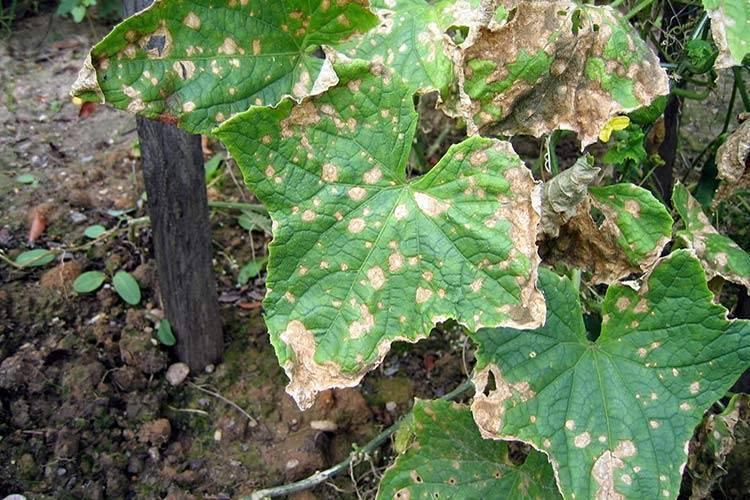 Вредители и болезни огурцов