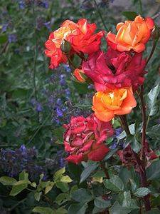 Описание розы флорибунда кимоно: что за сортовое растение, выращивание и уход