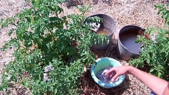 Состав удобрения фертика для картофеля. эффективное удобрение кемира для всех видов растений. препарат для вечнозеленых и хвойных растений