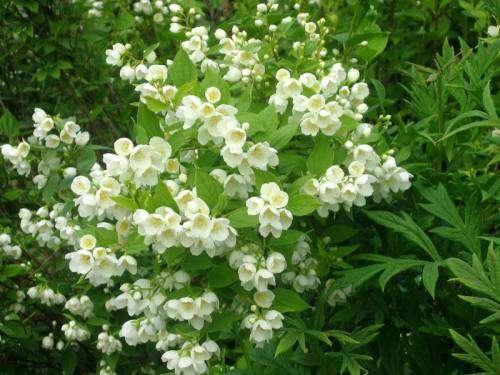 Посадка жасмина кустарникового в саду: уход и размножение растения, как вырастить