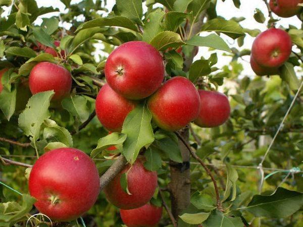 Сортовая яблоня пепин шафранный: фото и описание сорта