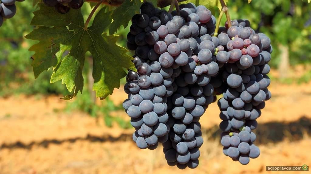 Обработка винограда от болезней и вредителей от а до я