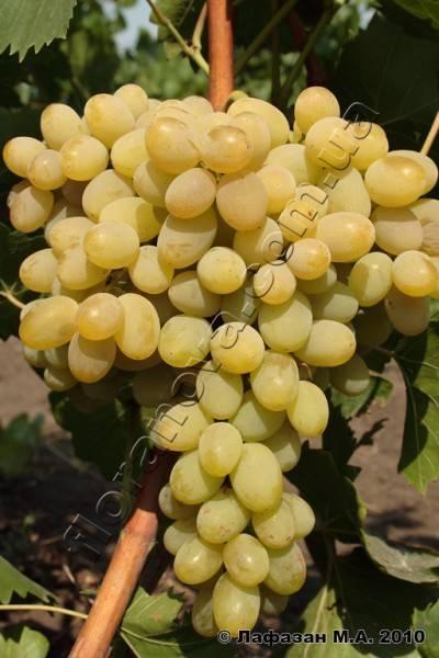 Столовый сорт винограда «плевен» с ранним сроком созревания