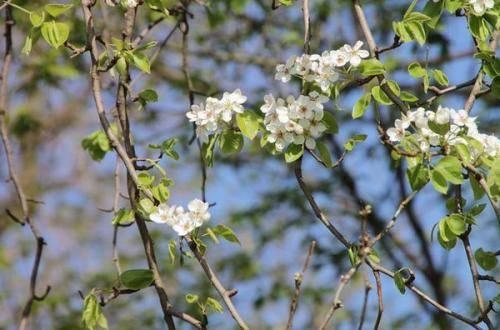 Посадка груши рядом с яблоней, можно ли сажать другими деревьями, совместимость