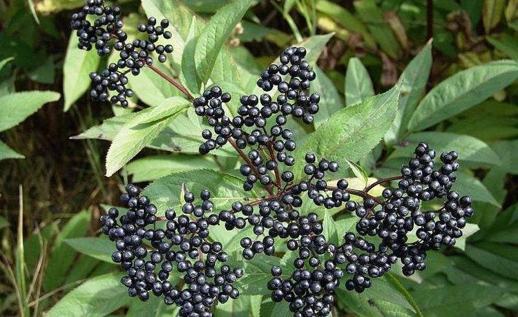 Бузина травянистая – лечебные свойства, описание - народная медицина | природушка.ру
