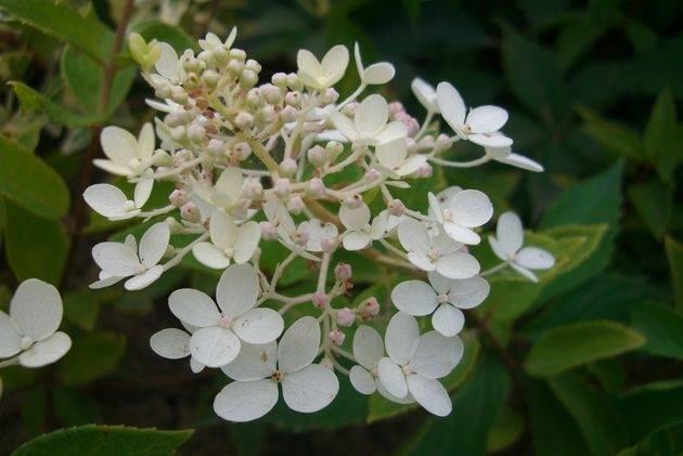 Бледные листья у гортензии — как помочь растению?