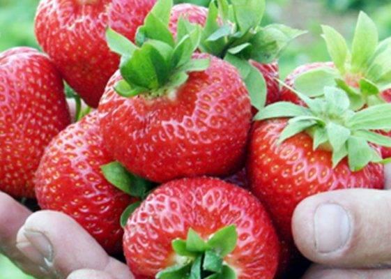 Клубника сорт вима кимберли: карамельный аромат и высокая урожайность