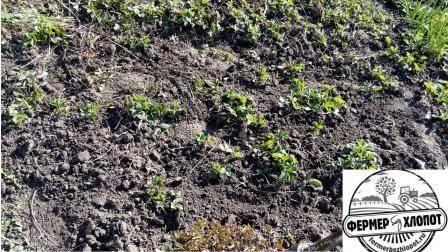 Может ли выдержать морозы цветущая виктория. какие заморозки выдерживает клубника весной. правильная посадка в открытый грунт
