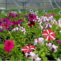 Размножение петунии черенками в домашних условиях летом и зимой, а также как сохранить материал для выращивания с осени до весны и правильно укоренить?