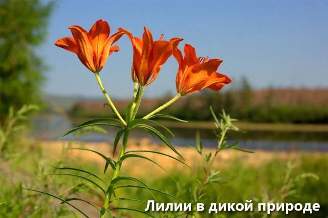 Лилии — выращивание, уход, пересадка и размножение
