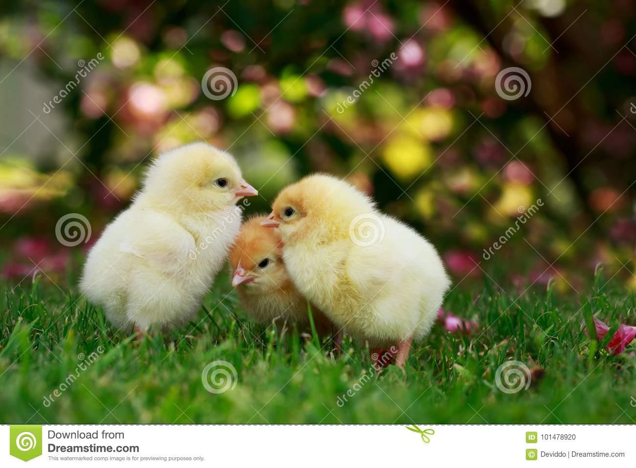 К чему снятся цыплята: маленькие, живые, цыплята во сне женщине.