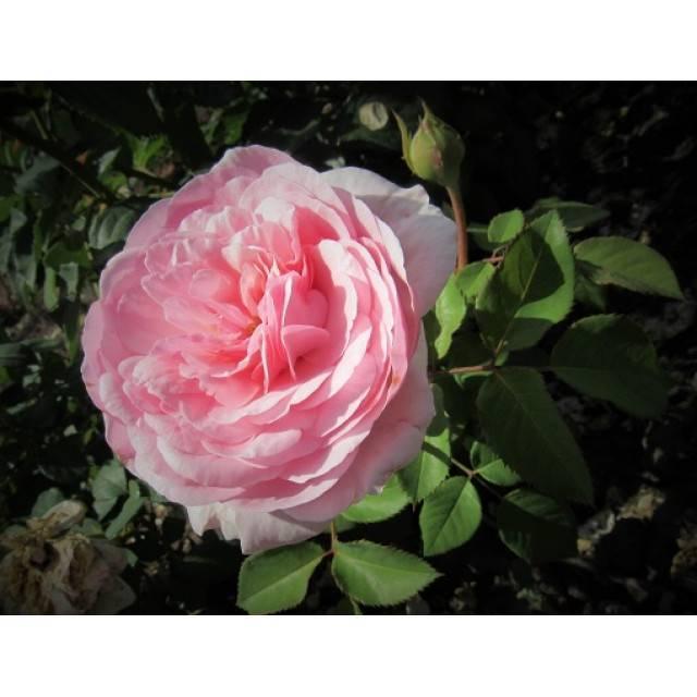 Основные характеристики гибридной розы оливия роуз: как выращивать «остинку»