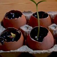 О яичной скорлупе для огурцов и луковой шелухе: народные средства, удобрения