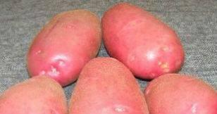 Картофель родриго: описание и особенности выращивания сорта